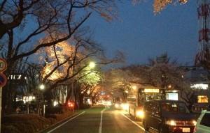 H25 10 桜並木ライトアップ
